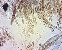 Geoglossum cookeanum